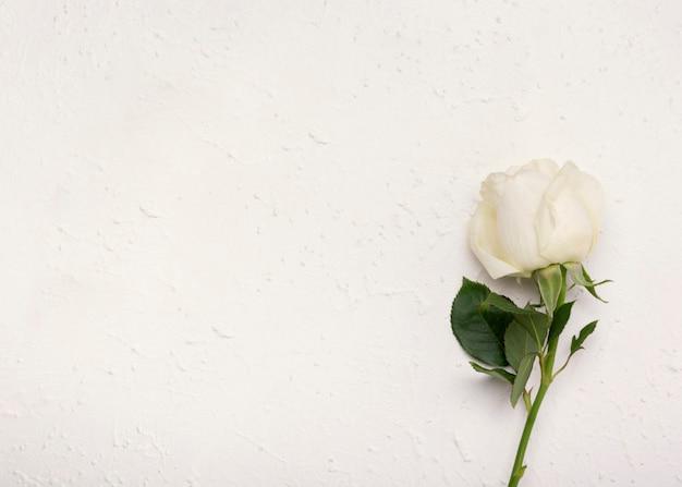 Unbedeutende schöne weißrose mit kopienraumhintergrund Kostenlose Fotos