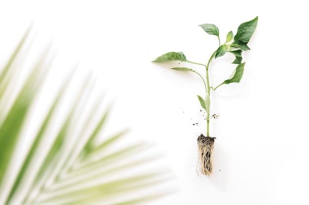 Undeutliche palme verlässt nahe anlage mit seiner wurzel über weißem hintergrund Kostenlose Fotos