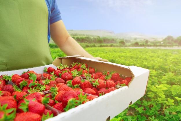 Unerkennbarer mann, der einen kasten mit frischen reifen erdbeeren in archiviert hält Premium Fotos