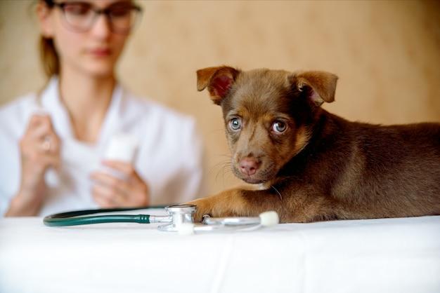 Untersuchung der gesundheit des frauentierarztes des spitzhundes in der klinik Premium Fotos