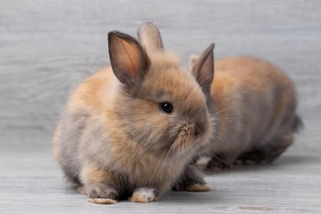 Verbinden sie kleines graues kaninchen mit dem chinesischen alten gold, das auf braunem hölzernem hintergrund am studio sitzt Premium Fotos