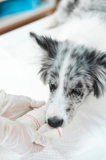 Verletzter hund mit dem weiß, das auf seiner tatze und gliedmaße verbunden ist Kostenlose Fotos