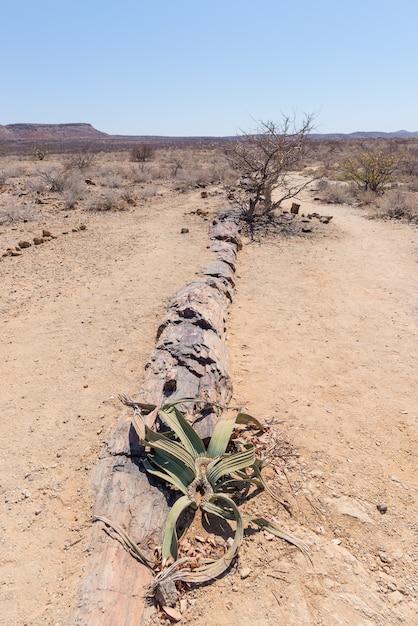 Versteinerter und mineralisierter baumstamm im berühmten versteinerten forest national park bei khorixas, namibia, afrika. 280 millionen jahre alter wald, klimakonzept Premium Fotos