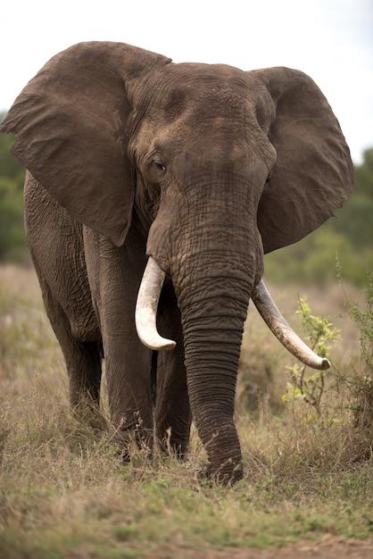 Vertikale aufnahme eines afrikanischen elefanten mit einem unscharfen hintergrund Kostenlose Fotos