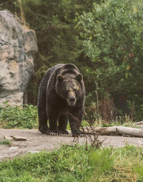 Vertikale aufnahme eines grizzlybären, der auf einem weg mit einem unscharfen wald im hintergrund geht Kostenlose Fotos