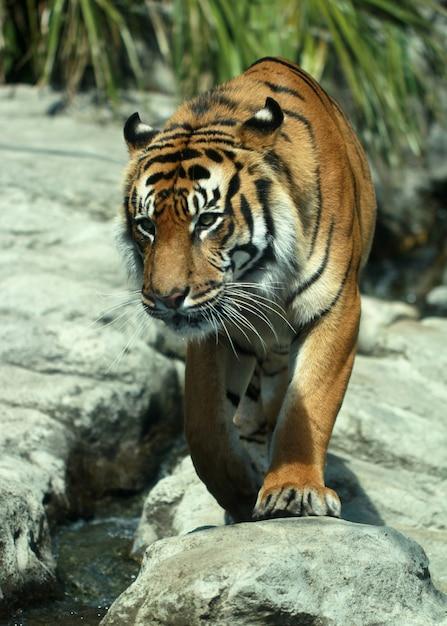 Vertikale nahaufnahme eines tigers auf den felsen am auckland zoo Kostenlose Fotos