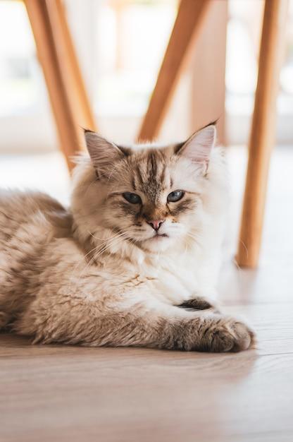Vertikale nahaufnahmeaufnahme einer niedlichen katze, die starrt, während sie auf dem holzboden liegt Kostenlose Fotos