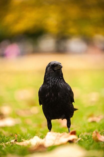 Vertikale nahaufnahmeaufnahme einer schwarzen krähe, die auf dem gras mit unscharfem hintergrund steht Kostenlose Fotos