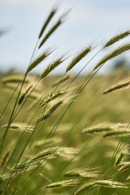 Vertikale nahaufnahmeaufnahme von triticale-pflanzen Kostenlose Fotos