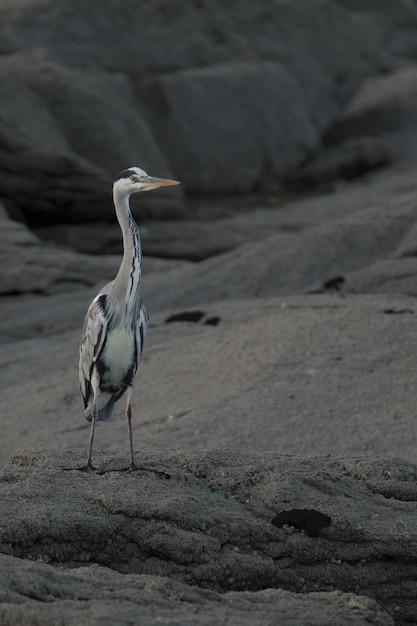 Vertikale selektive fokusaufnahme des graureihers auf einem felsen Kostenlose Fotos