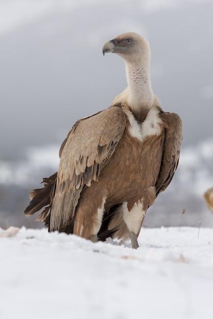 Vertikale selektive fokusaufnahme eines prächtigen weißkopfseeadlers auf dem schneebedeckten boden Kostenlose Fotos