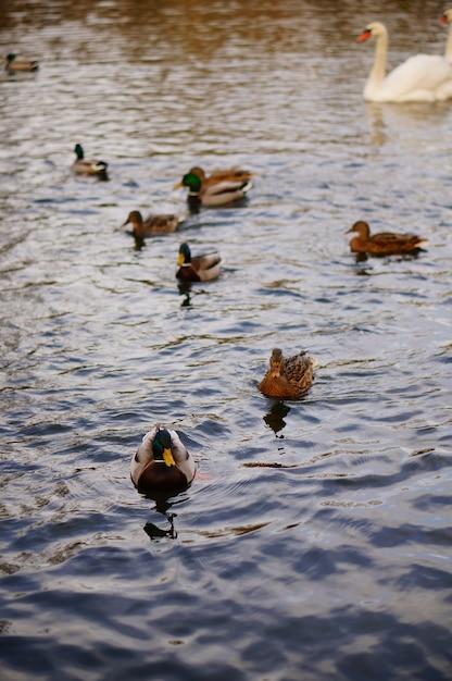 Vertikaler hochwinkelschuss der niedlichen enten, die im see schwimmen Kostenlose Fotos