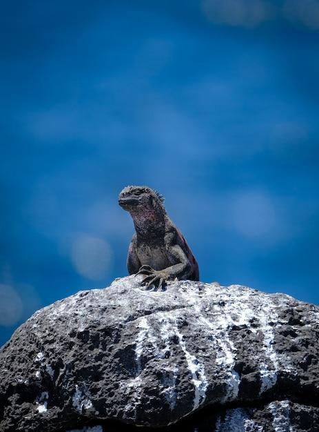 Vertikaler schuss des meeresleguans, der auf einem felsen steht Kostenlose Fotos