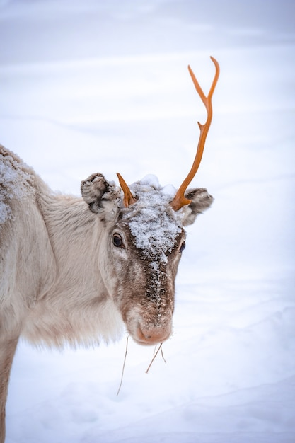 Vertikaler schuss eines hirsches mit einem horn und einem schneebedeckten hintergrund Kostenlose Fotos