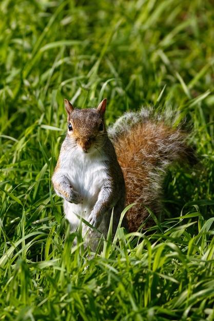 Vertikaler schuss eines niedlichen eichhörnchens auf dem gras Kostenlose Fotos