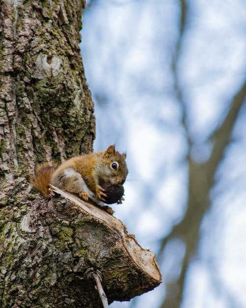 Vertikaler schuss eines niedlichen eichhörnchens, das haselnuss auf einem baum isst Kostenlose Fotos