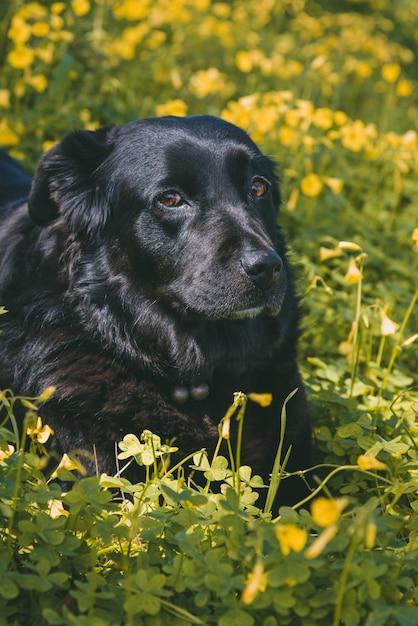 Vertikaler schuss eines niedlichen schwarzen hundes, der auf gelben blumen liegt Kostenlose Fotos