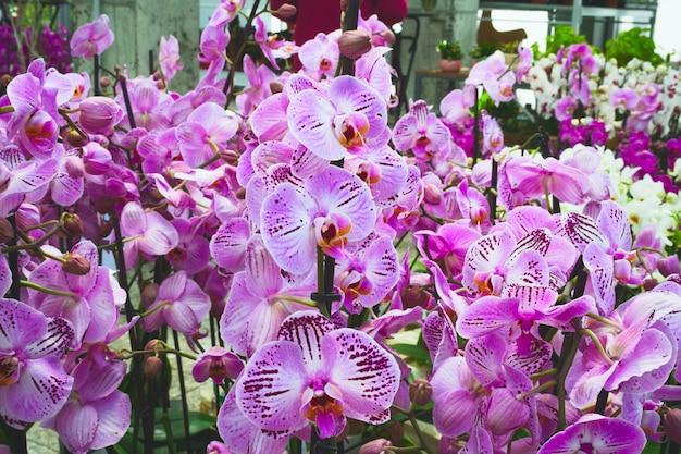 Viele blühende lila orchideen Premium Fotos