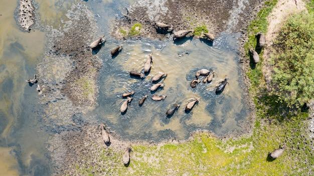 Viele der thailändischen wasserbüffel, die wasser im see spielen Premium Fotos