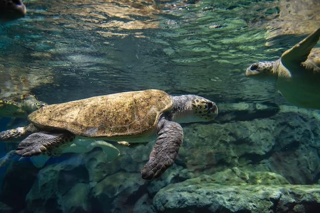 Viele meeresschildkröten unter wasser Premium Fotos