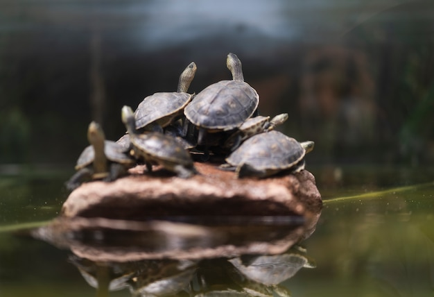 Viele schildkröten kommen auf den felsen zur ruhe. Premium Fotos