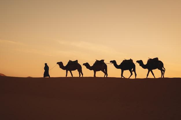 Vier kamele in einer reihe, die in eine düne mit einem sonnenaufganglicht in der rückseite gehen Premium Fotos