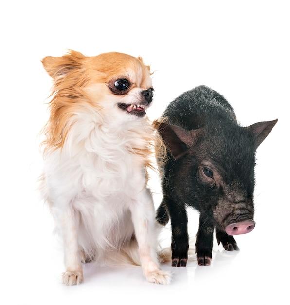 Vietnamesisches schwein und chihuahua Premium Fotos