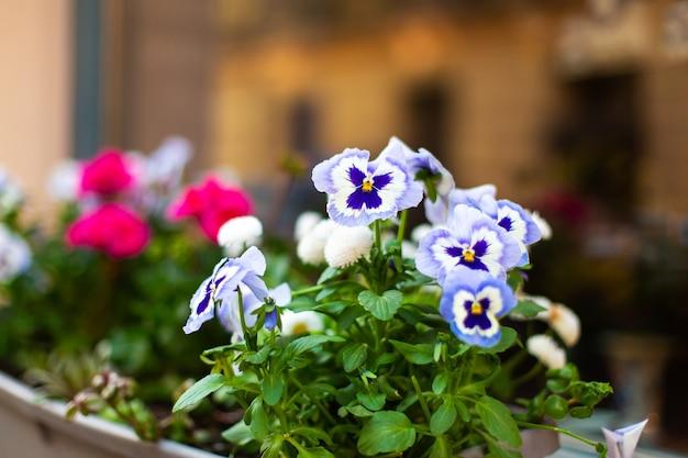 Violette blumen in einem topf auf der fensterbank. Premium Fotos