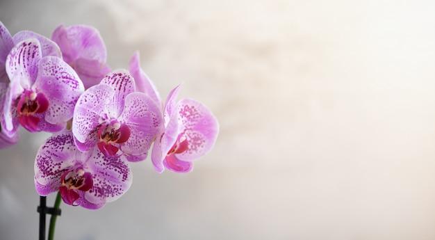 Violette orchidee auf grauem konkretem hintergrund Premium Fotos