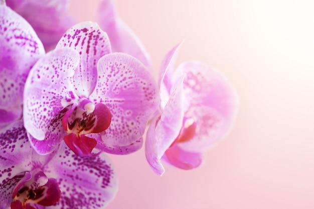 Violette orchidee auf rosafarbenem hintergrund Premium Fotos