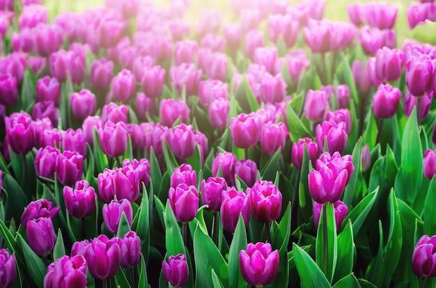 Violetter, purpurroter, lila tulpehintergrund. sommer- und frühlingskonzept, kopienraum. Premium Fotos