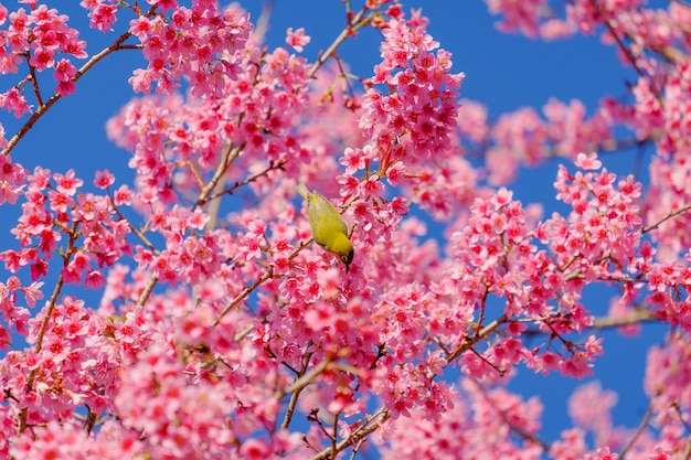 Vögel essen nektar vom kirschbaum Premium Fotos