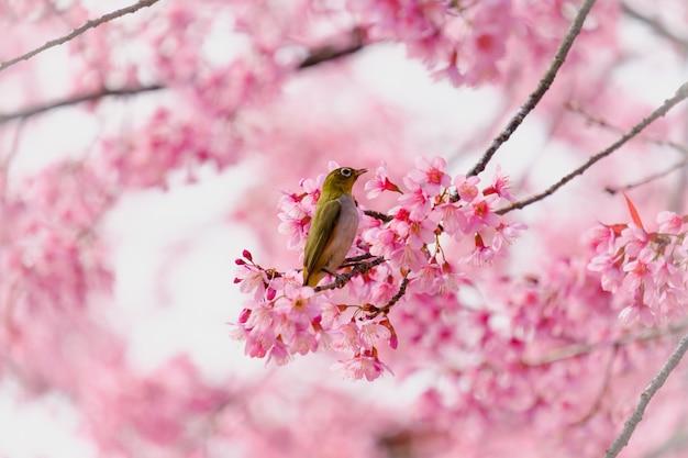Vogel auf einem kirschbaumzweig Premium Fotos