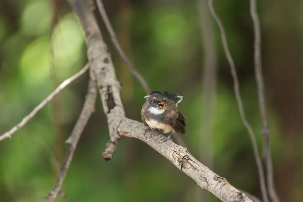 Vogel (malaysian pied fantail) in einer natur wild Premium Fotos