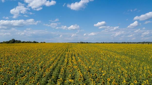 Vogelperspektive des bebauten sonnenblumenfeldes im sommer Premium Fotos