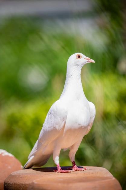 Voller körper des porträts des taubenvogels der weißen feder, der auf hauptdachboden steht Premium Fotos