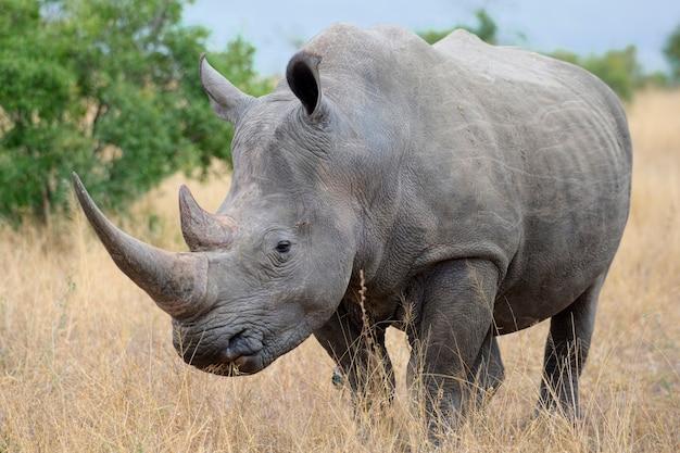 Vom aussterben bedrohtes afrikanisches spitzmaulnashorn in ostafrika Premium Fotos