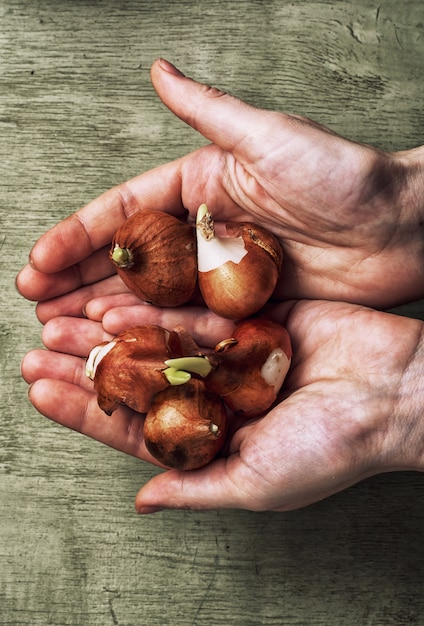 Vorbereitet zum pflanzen von frühlingszwiebeln Premium Fotos
