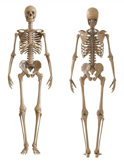 Vorder- und rückansicht des skeletts Premium Fotos