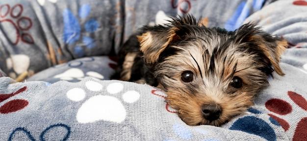 Vorderansicht des niedlichen yorkshire terrier welpen in seinem bett Premium Fotos