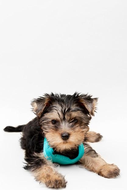 Vorderansicht des niedlichen yorkshire terrier welpen mit kopienraum Premium Fotos