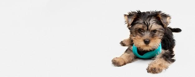 Vorderansicht des niedlichen yorkshire terrierwelpen mit kopienraum Premium Fotos