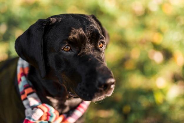 Vorderansicht des schwarzen labrador, der mehrfarbigen schal trägt Kostenlose Fotos