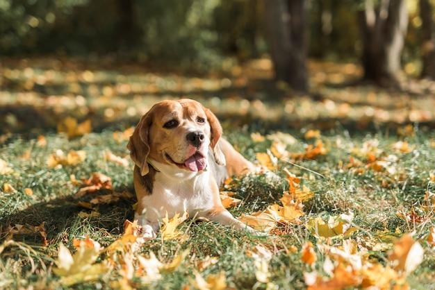 Vorderansicht des spürhundhundes liegend auf gras mit der zunge heraus haften Kostenlose Fotos