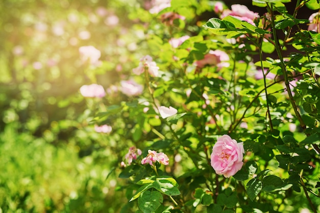 Vorgarten mit blühendem busch im sommer bei sonnenuntergang Premium Fotos