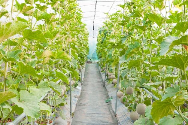 Wachsende melonen im gewächshaus, junge melone im biohof Premium Fotos