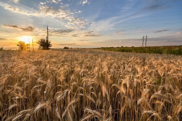 Wärmen sie farbiges goldenes reifes für das ernten des weizenfeldes. landwirtschaft, landwirtschaft und reiche ernte. Premium Fotos