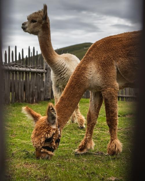Wahlschuss von braunen und weißen lamas, die gras essen Kostenlose Fotos