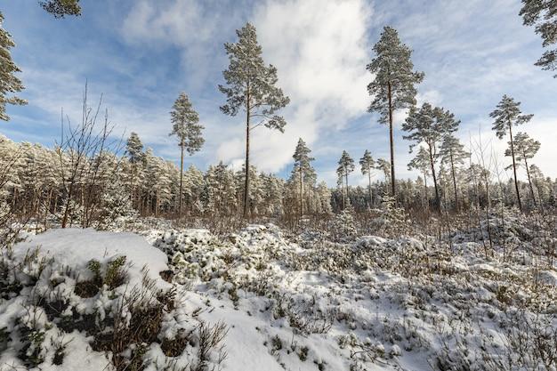 Wald mit hohen bäumen im winter Kostenlose Fotos