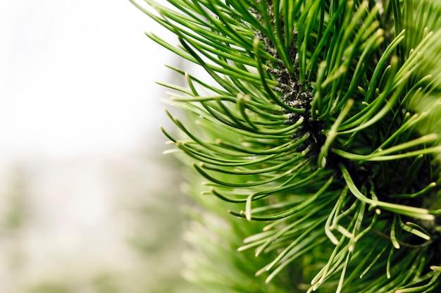 Waldhintergrund mit nadelbaum in der frontseite Premium Fotos